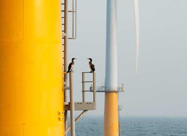 Twee aalscholvers bespreken de voor- en nadelen van windmolenparken Foto: Hans Verdaat/IMARES