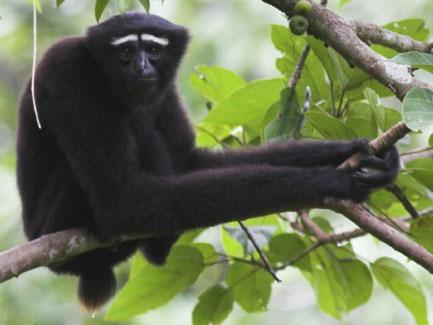 Hoelok gibbon