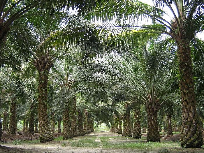 800px-Oilpalm_malaysia