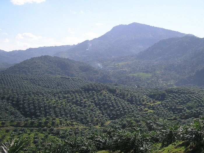 oil palm plantation in Cigudeg