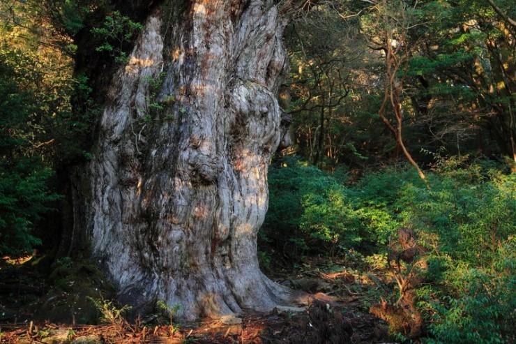 Een Japanse boom van meer dan duizend jaar oud. Ziet er nog goed uit toch?