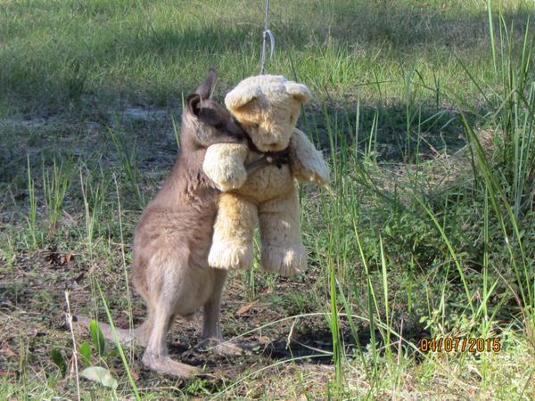 De knuffelende kangoeroe