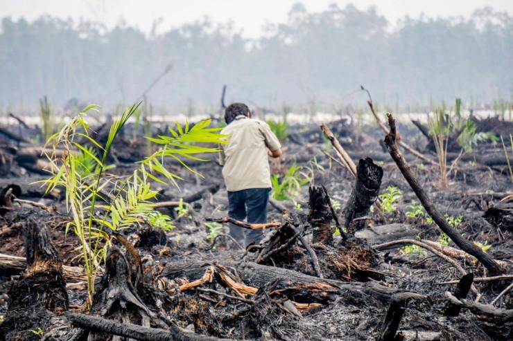 De Indonesische politie doet onderzoek op een afgebrand stuk bos waar nieuwe palmbomen zijn geplant vlakbij het Nyaru Menteng Orang-Utan reservaat ten westen van Palangkaraya, Centraal Kalimantan. Foto: Greenpeace