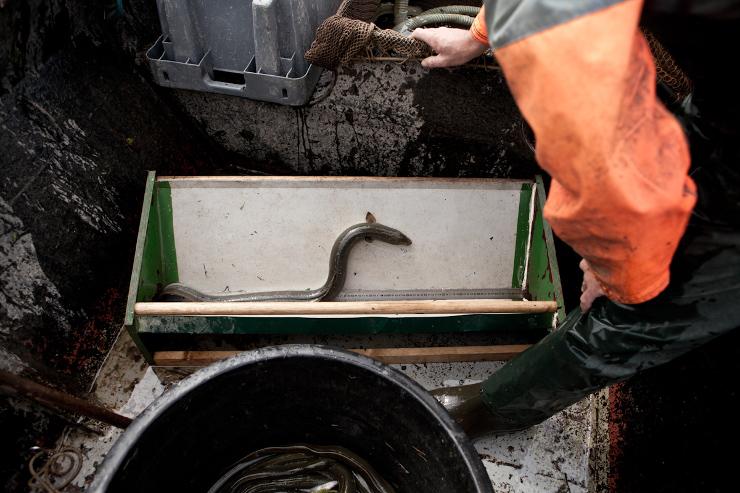 Frans komen meet de lengte van een aal op, waarna ook zijn gewicht wordt bepaald. Dit gebeurd om meerjarig onderzoek te doen naar de situatie van de aal en om beter inzicht te krijgen in de algemene visstand en de gezondheid van de aanwezige vis. - Beeld: Michael Rhebergen