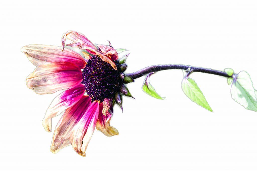 old dying purple flower duurzaam activisme