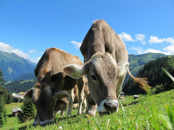 Oostenrijkse koeien. Beeld: Petapixel