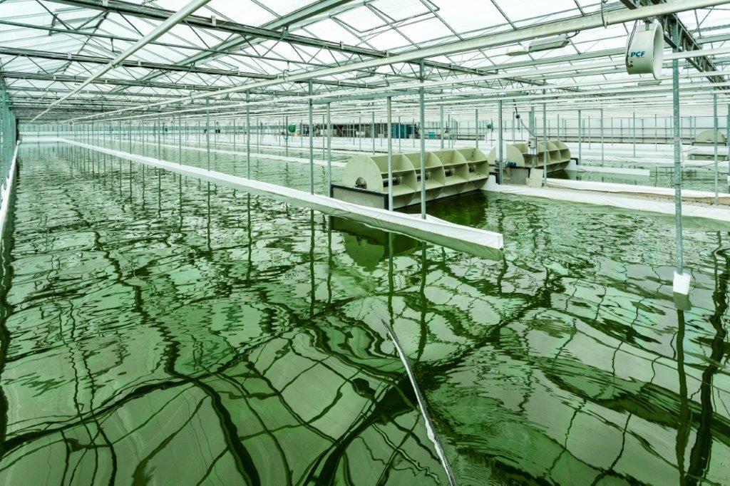 algen biobrandstof