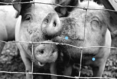 varkens in nood
