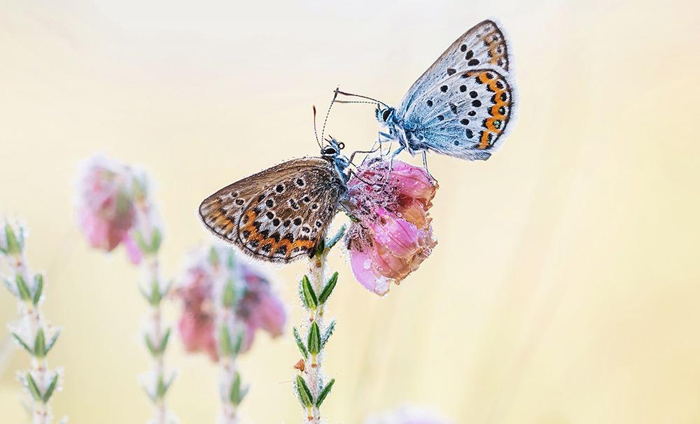 Twee heideblauwtjes